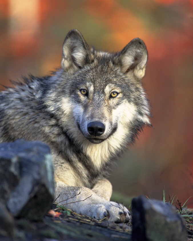 WolfPic