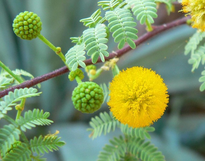 Acacia_constricta_flower